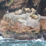 Islas Ballestas Robben
