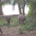 Tapir mit Affen