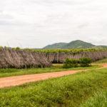 die Plantagen werden mit Palmblättern geschützt