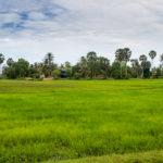 und grüne Reisfelder