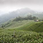 Teeplantagen in den Bergen